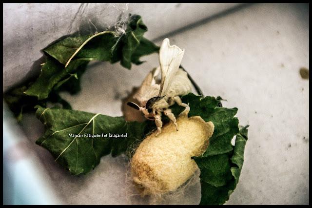 papillon ver à soie