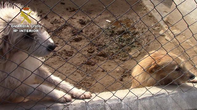 Algunos de estos animales mostraban cicatrices tras haberles extraído el microchip identificativo Imagenes de la operación Asensio