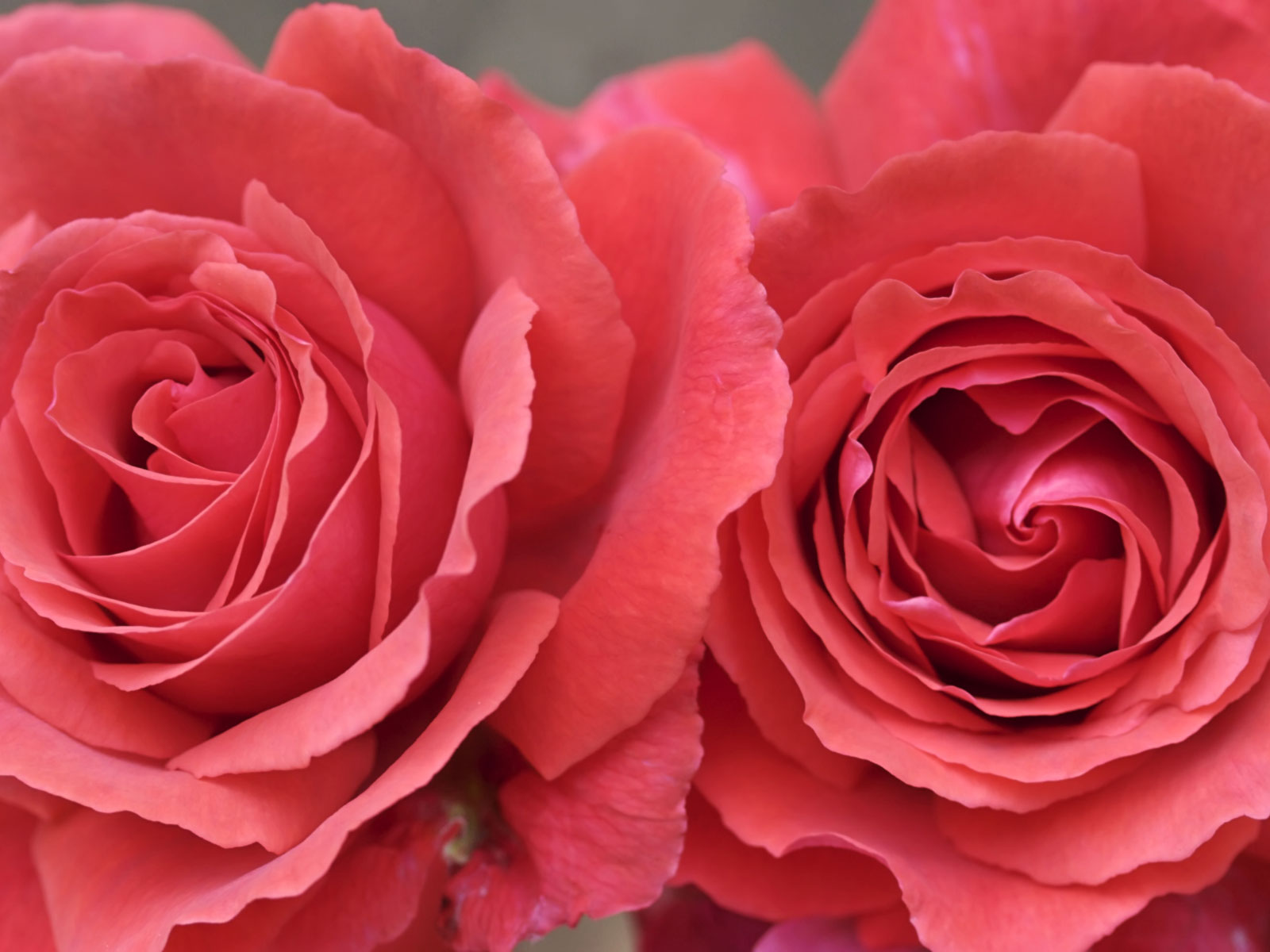 Wallpaper Collection For Your Computer and Mobile Phones: New 20 Best Colorful Rose Wallpaper ...