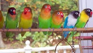 cara merawat burung, gacor lama, gacor panjang, lovebird biar cepat gacor,