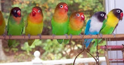 tips dan trik dalam cara merawat lovebird biar rajin ngekek