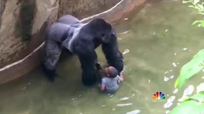 Icheoku Death Of Harambe The Gorilla Avoidable And Regrettable