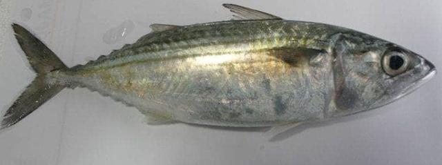 ikan kembung