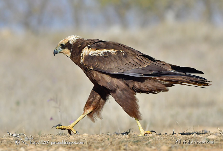 The Marsh Harrier Plumage