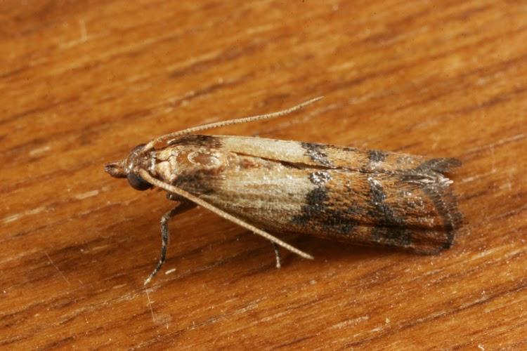 Small Brown Moths In Bedroom Psoriasisguru Com