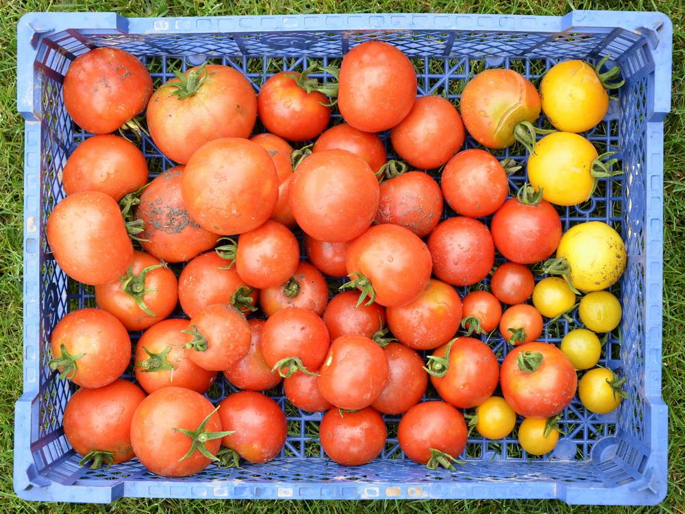 sonne lacht blende acht tomaten. Black Bedroom Furniture Sets. Home Design Ideas