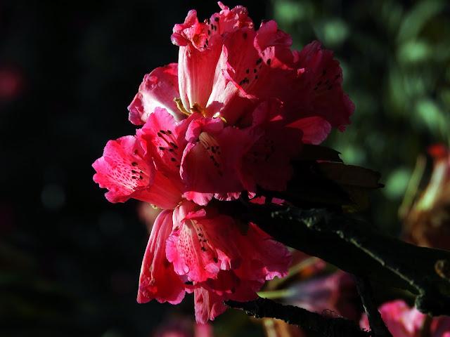 Rhododendrons | Sandakphu - April 2016