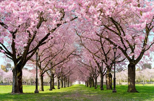 Pohon Dengan Bunga Terindah di Dunia