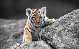 A picture of a little tiger