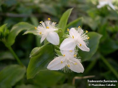 flor de santa lucia