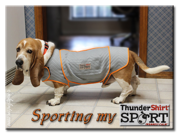 Basset hound wearing Thundershirt