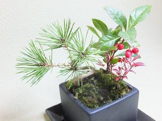彩花盆栽 黒松