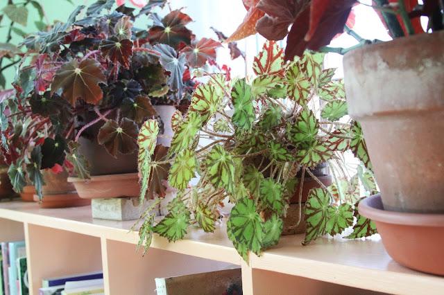 begonias, houseplants, indoor garden, Anne Butera, My Giant Strawberry