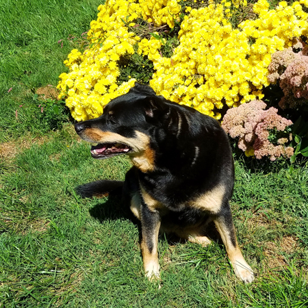 image of Zelda the Black and Tan Mutt sitting in the garden beside some yellow and purple autumn blooms, looking to one side