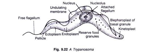 Trypanosoma Gambiense | Habitat Reproduction and Life Cycle | What disease does Trypanosoma Gambiense cause? | How is Trypanosoma Gambiense transmitted? | What does African sleeping sickness do to your body? | Is Sleeping sickness curable?
