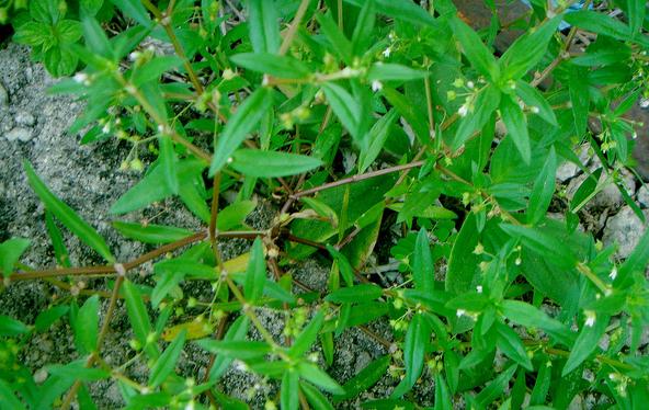 Rasa dari rumput lidah ular adalah manis dan pahit serta bersuhu dingin. Kandungan kimia didalamnya yaitu saponin, flavonoid, polifenol, triterpen, polisakarida, glikosida antrakuinon, asam stearat, asam oleanolat, asam trans p-kumarat, asama ursolat, dan sitosterol.