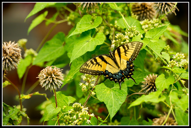 Insect; Butterfly; Tiger Swallowtail