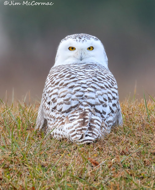 Snowy Owl Tactics - And