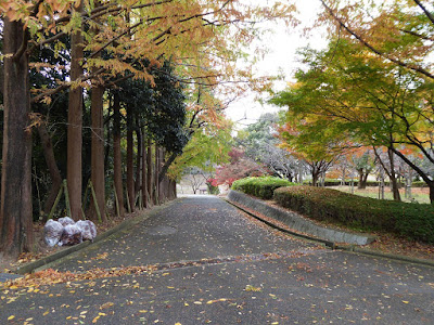 王仁公園・メタセコイアの木