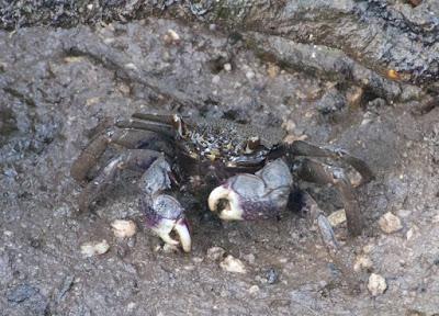 Violet Vinegar Crab (Episesarma versicolor)