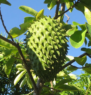 soursop or graviola as cancer medicine