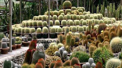 Cara Perawatan Kaktus Mini