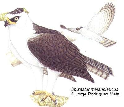 aguilas de misiones Águila viuda (Spizastetus melanoleucus