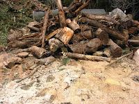 残った伐採樹木