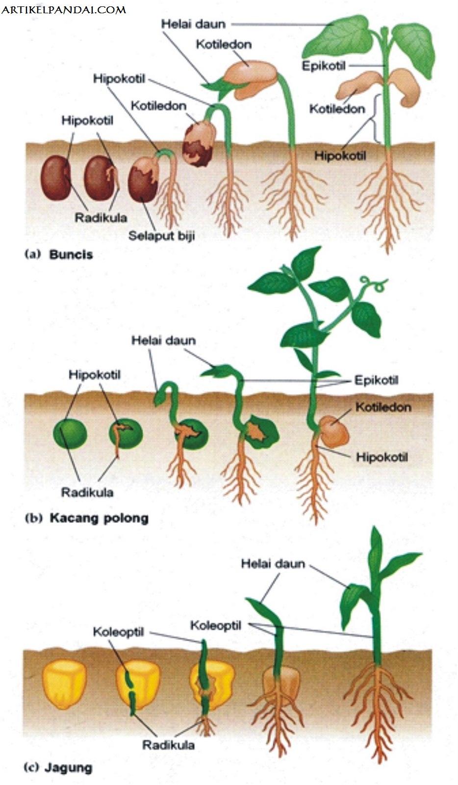 Ciri Ciri Pertumbuhan Dan Perkembangan Pada Tumbuhan : pertumbuhan, perkembangan, tumbuhan, Proses, Pertumbuhan, Perkembangan, Tumbuhan, (Faktor, Pertumbuhan), BELAJAR