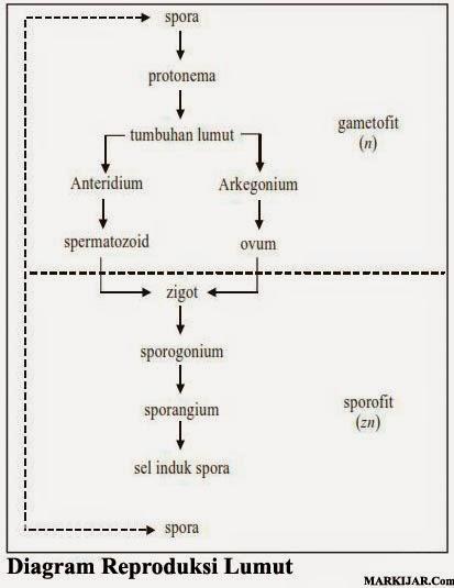 Diagram reproduksi lumut, Tumbuhan Thallophyta, Tumbuhan lumut, Kelas Hepaticae, Lumut Daun.