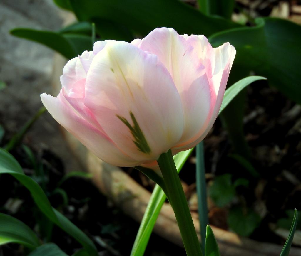le monde de shuki pivoine et tulipes la vie en rose. Black Bedroom Furniture Sets. Home Design Ideas