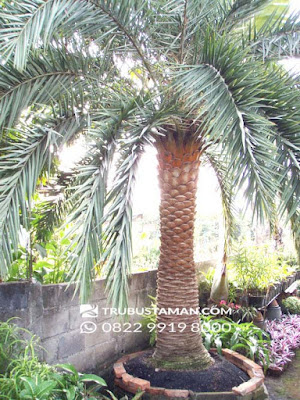Tukang Taman Jakarta - palm Canary