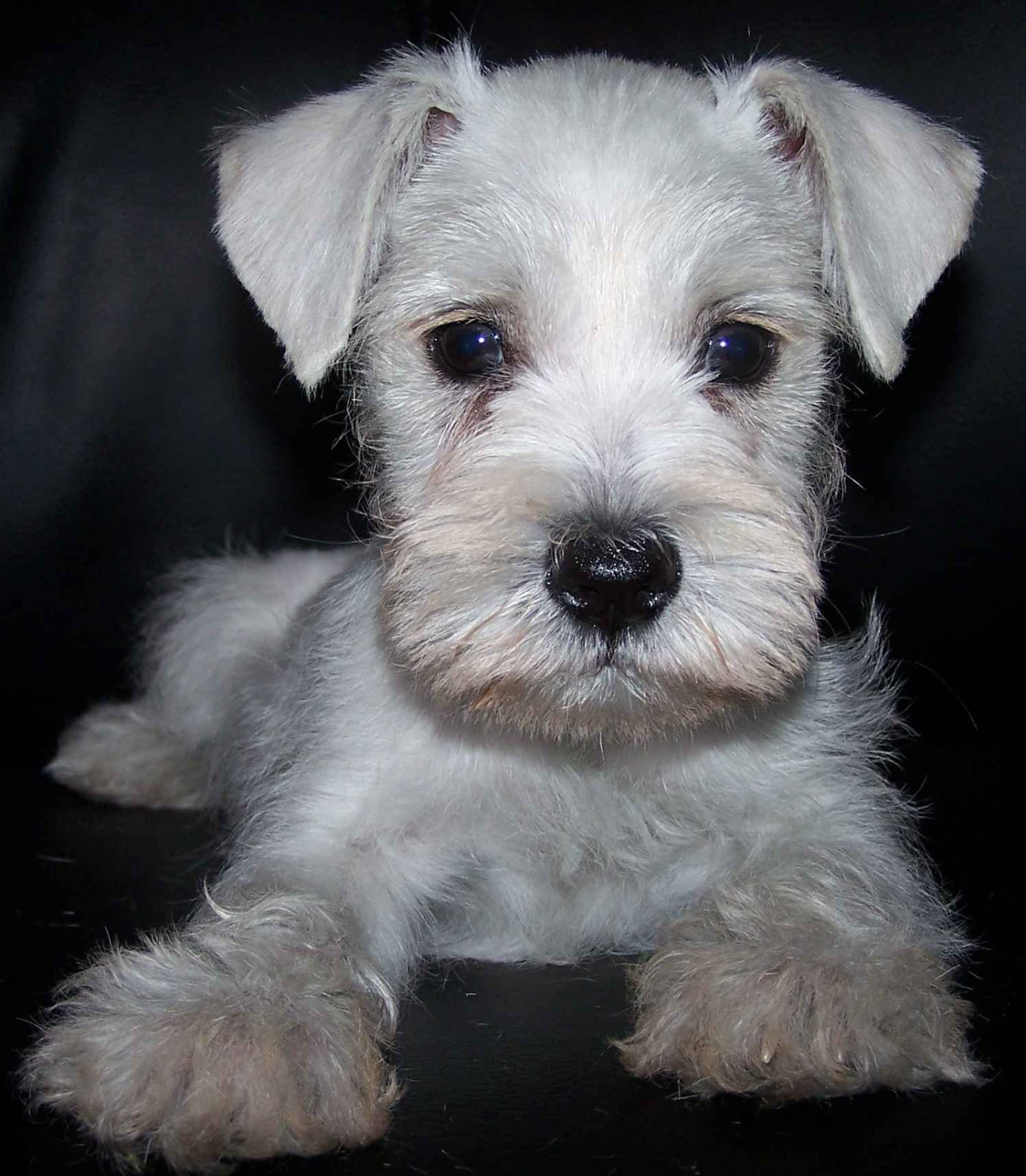 Cute Puppy Dogs White Miniature Schnauzer Puppies
