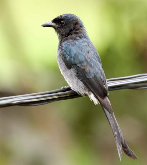 White-bellied drongo - Dicrurus caerulescens