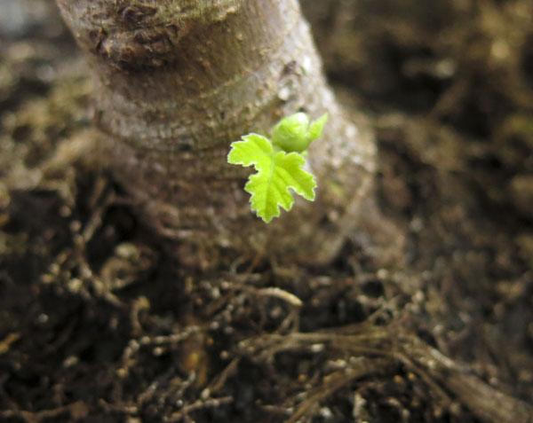 figtree, fikonträd