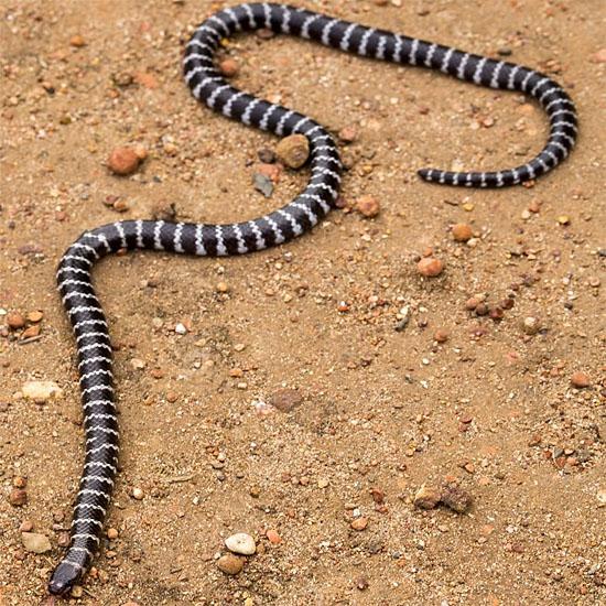 Nova espécie de cobra venenosa é descoberta - Img 1