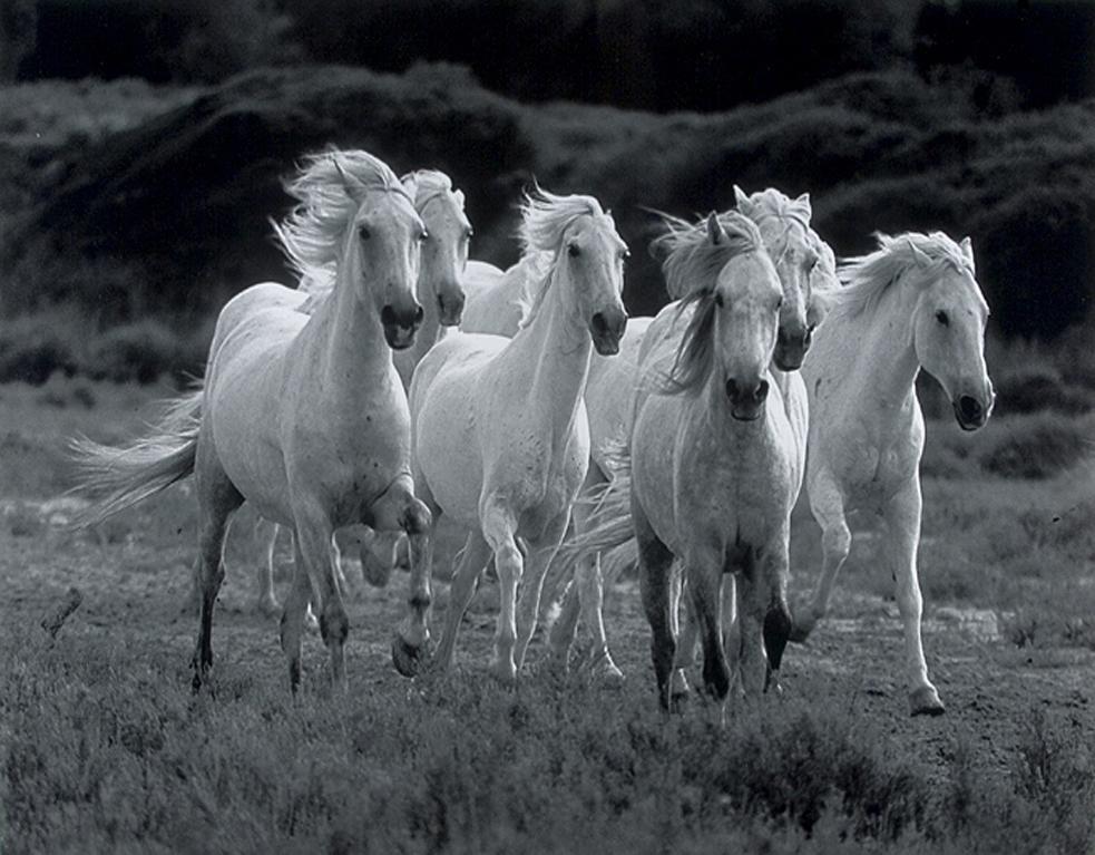 White Horses Wallpaper Wwwpicswecom