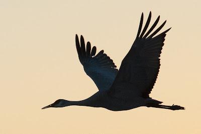 Sandhill Crane, Bosque del Apache NWR