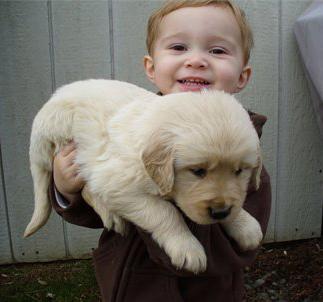 Golden Retriever Puppy Breeder: Family-Raised Golden