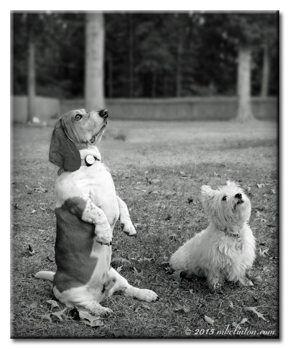 Basset Hound sitting up and Westie sitting