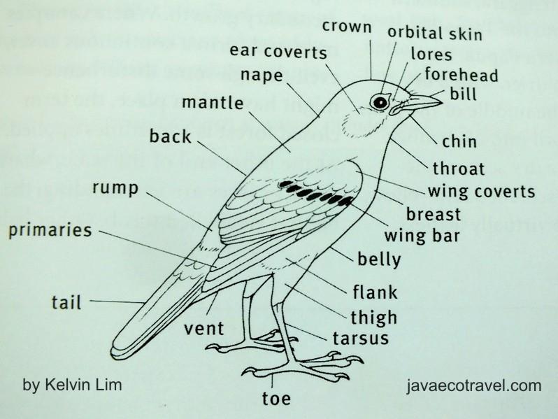 Birds Of Indonesia