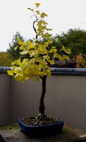 Meijer Garden bonsai ginko