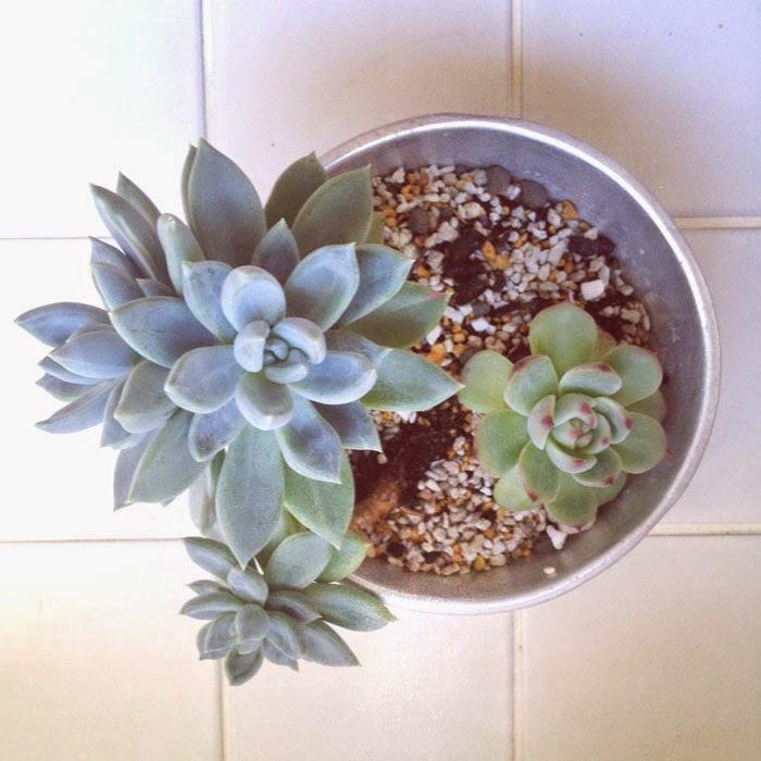 タイル床の上の古いアルミのボールに植えたエケベリア科の多肉植物