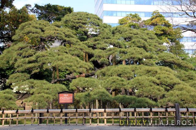 Pino de 300 años de los Hama-rikyu Gardens
