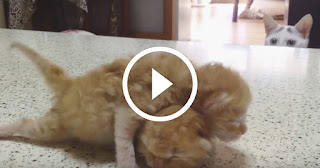 Older Kitty Uselessly But Adorably Tries To Teach Young Kittens How To Fight
