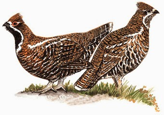 Chinese Grouse
