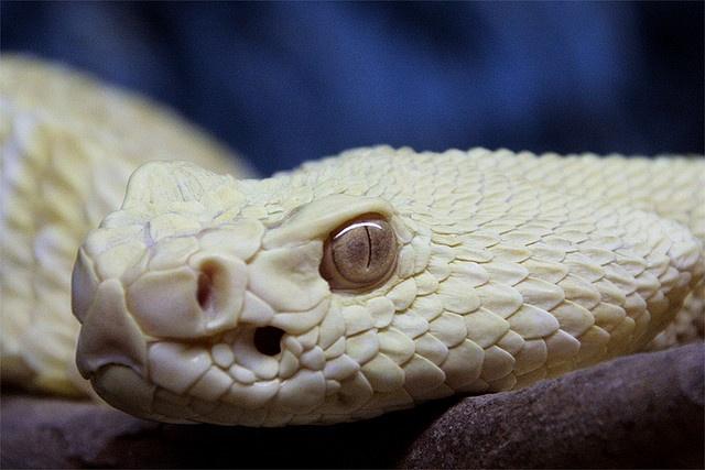 Viper | A-Z List of 125 Rare Albino Animals [Pics]