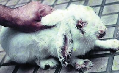 Penyakit Pada Kelinci