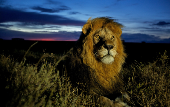 Lion The King of the Cats