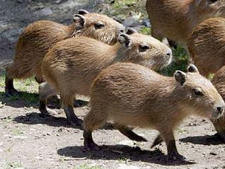 Capybara Facts , Amazing Facts